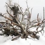Kniebies arbres morts sur place depuis tempête de 1999 (Small)
