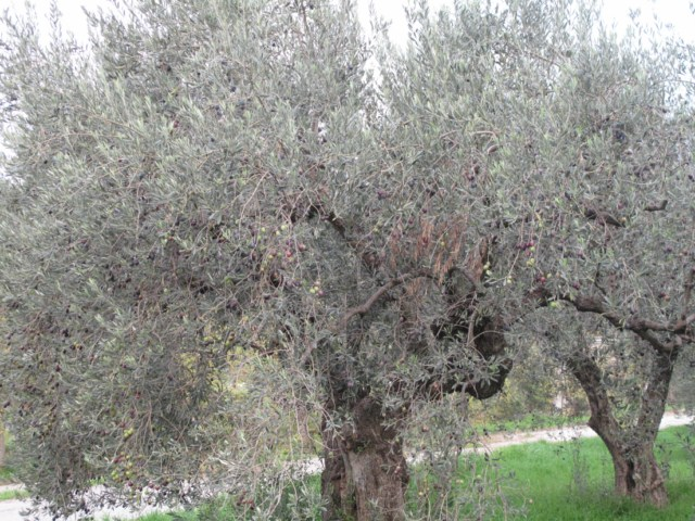 69-olivier grece 189 [640x480]